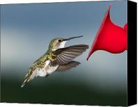 Ruby Throated Canvas Prints - Flying Hummingbird close-up Canvas Print by Al  Mueller