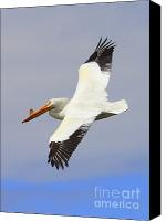 White Pelican Canvas Prints - Flying Pelican Canvas Print by Carol Groenen