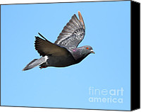 Birds In Flight Canvas Prints - Flying Pigeon . 7D8640 Canvas Print by Wingsdomain Art and Photography
