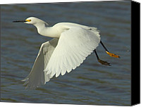 Snowy Egrets Canvas Prints - Flying Snowy Egret Canvas Print by Robert Frederick