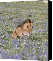 Wild Horse Canvas Prints - Foal in the Lupine Canvas Print by Carol Walker