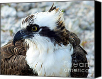 Osprey Canvas Prints - Focused Canvas Print by Karen Wiles