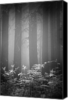 Tree Trunk Canvas Prints - Fog And Ferns In Redwoods Forest Canvas Print by Cathy Clark aka CLCsPics