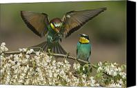 Hungary Canvas Prints - For A Male Bee-eater, Mating Depends Canvas Print by Joe Petersburger