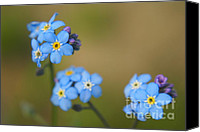 "\""forget Me Not Flowers\\\"" Canvas Prints - Forget Me Not 01 - s01r Canvas Print by Variance Collections"