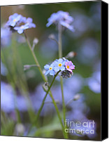 "\""forget Me Not Flowers\\\"" Canvas Prints - Forget-Me-Not Flowers Canvas Print by Jennie Marie Schell"