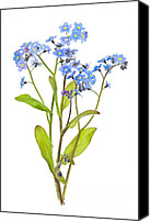Green Leaves Canvas Prints - Forget-me-not flowers on white Canvas Print by Elena Elisseeva