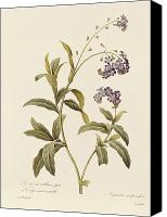 Horticultural Canvas Prints - Forget Me Not Canvas Print by Pierre Joseph Redoute