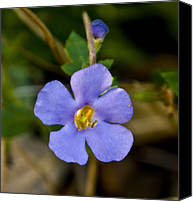 "\""forget Me Not Flowers\\\"" Canvas Prints - Forget Me Not Canvas Print by Svetlana Sewell"