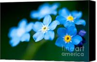 "\""forget Me Not Flowers\\\"" Canvas Prints - Forget Me Not  Canvas Print by Venura Herath"