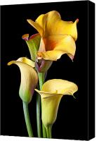 Yellow Canvas Prints - Four calla lilies Canvas Print by Garry Gay
