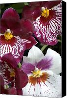 Orchidaceae Canvas Prints - Four Exotic Orchid Blossoms Canvas Print by Todd Gipstein