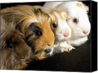 Pig Photo Canvas Prints - Four Guinea Pigs Sitting In A Line, Close-up Canvas Print by Michael Blann