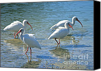 Ibis Canvas Prints - Four Ibises Canvas Print by Carol Groenen