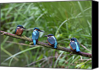 Kingfisher Canvas Prints - Four Kingfishers On Branch Canvas Print by Produced by Oliver C Wright