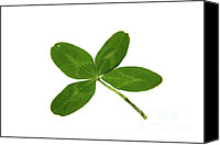 Good Luck Photo Canvas Prints - Four Leaf Clover Canvas Print by Photo Researchers