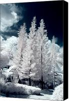 Dominican Canvas Prints - Four Tropical Pines Infrared Canvas Print by Adam Romanowicz