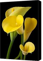 Aesthetic Canvas Prints - Four yellow calla lilies Canvas Print by Garry Gay