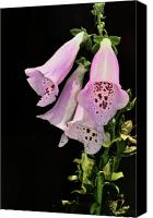 Glove Digital Art Canvas Prints - Fox Glove Bells Canvas Print by Bill Cannon