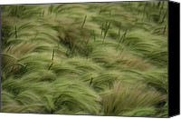 Foxtail Canvas Prints - Foxtail Barley And Western Wheatgrass Canvas Print by Annie Griffiths