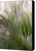 Foxtail Canvas Prints - Foxtail Barley Canvas Print by Katie LaSalle-Lowery