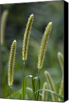 Foxtail Canvas Prints - Foxtail Bristle-grass (setaria Italica) Canvas Print by Bob Gibbons