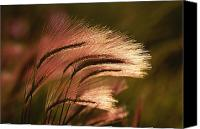 Foxtail Canvas Prints - Foxtail Grass In Sunlight Canvas Print by Michael Melford
