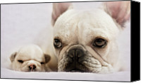French Bulldog Canvas Prints - French Bulldog Canvas Print by Copyright © Kerrie Tatarka