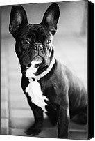 French Bulldog Canvas Prints - French Bulldog Canvas Print by Falko Follert