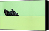 Photography Studio Canvas Prints - French Bulldog Puppy Canvas Print by Retales Botijero