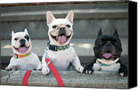 French Bulldog Canvas Prints - French Bulldogs Canvas Print by Tokoro