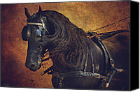Wild Horses Canvas Prints - Friesian Under Harness Canvas Print by Lyndsey Warren