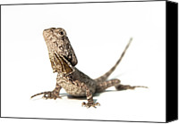 Lizard Canvas Prints - Frilled Dragon Canvas Print by Www.tommaddick.co.uk