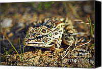 Spot Canvas Prints - Frog Canvas Print by Elena Elisseeva