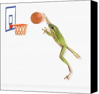 Basketball Canvas Prints - Frog Playing Basketball Canvas Print by Corey Hochachka