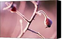 Selection Canvas Prints - Frost On Bushes Canvas Print by Natural Selection Craig Tuttle