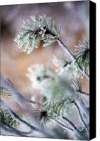 Selection Canvas Prints - Frost On Pine Tree Branches Canvas Print by Natural Selection Craig Tuttle