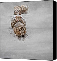 Sheep Photo Canvas Prints - Frozen Fleece Canvas Print by Robin-Lee Vieira