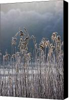 Frozen Canvas Prints - Frozen Reeds At The Shore Of A Lake Canvas Print by John Short