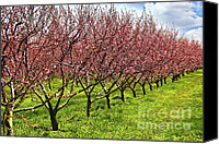 Flower Blooming Canvas Prints - Fruit orchard Canvas Print by Elena Elisseeva