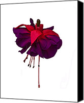 Fushia Canvas Prints - Fuchsia on White Canvas Print by Dawn OConnor