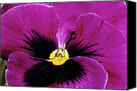 Phyllis Denton Canvas Prints - Fuchsia Pansy Canvas Print by Phyllis Denton