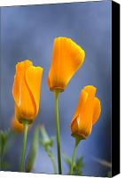 Poppy Petals Canvas Prints - Furled Poppy Canvas Print by Craig Tuttle