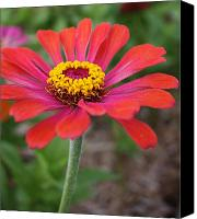 Zinna Canvas Prints - Fuscia Wonder Canvas Print by Bruce Bley