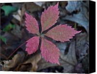 Fushia Canvas Prints - Fushia Leaf Canvas Print by Douglas Barnett