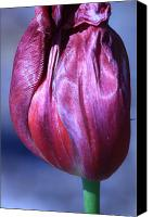 Fushia Canvas Prints - Fushia Tulip Canvas Print by Donna Corless