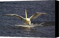 Pond Pastels Canvas Prints - Gaceful Swan Canvas Print by Robert Pearson