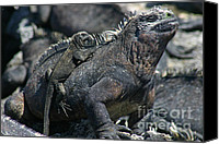 Galapagos Islands Canvas Prints - Galapagos Marine Iguana and Baby Canvas Print by Matt Tilghman