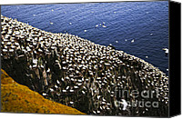 Saint Mary Canvas Prints - Gannets at Cape St. Marys Ecological Bird Sanctuary Canvas Print by Elena Elisseeva