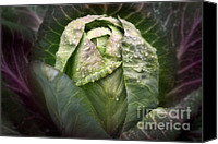Cultivation Canvas Prints - Garden Cabbage Canvas Print by Susan Isakson